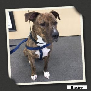 adoptable baxter