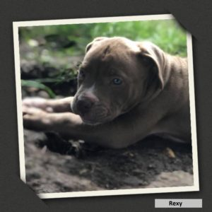 adoptable rexy