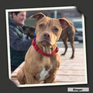 adoptable ginger