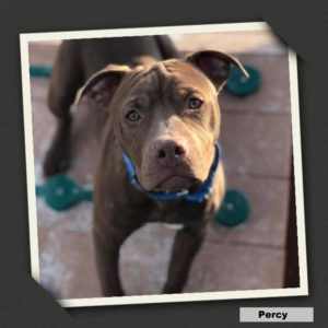 adoptable percy